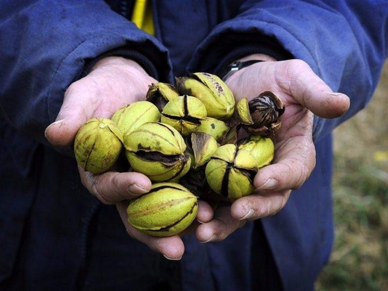 pecan nut farm & town